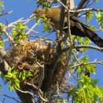 Nesting Birds 4/13/16