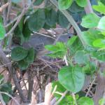 Nesting Dove 4/14/16