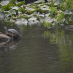 Another turtle