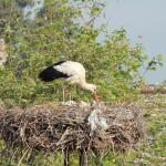 White Storks in front of our room