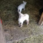 Rare breed lambs at the end of the garden at Thorney How