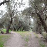 Promenade dans les environs: L'oliveraie