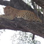 This was the leopard that posed so obligingly for us on our Buhala safari with the wonderful Pat