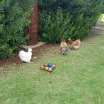Cute chickens whose eggs we ate