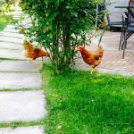 Le nostre galline - Our hens