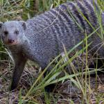 This mongoose was playing in the grass 10 feet from our room.