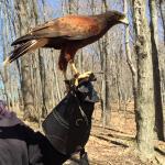 Talons Private Hawk Walk Foto