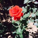 roses in the garden restaurant