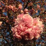 Blooms of flower tree in April
