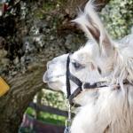 Llama Trekking!