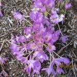 Pukeiti Rhododendron Garden Foto