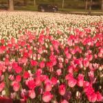 les tulipes à Cheverny