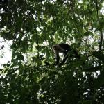 One of the capuchin monkey visitors just outside the teepees!