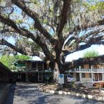 The beautiful 400 year old oak tree in the parking lot.