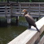 Anhinga poing for a photo