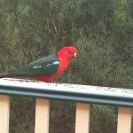 A king parrot seen from the Lilly Pilly cottage