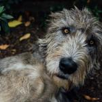 One of Karin's beautiful Irish wolfhounds.