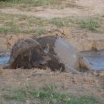 Sleeping buffalo in a mud bath