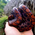 A rescued rainbow boa at the Siona indigenous village