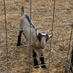 Split Creek ... baby goat