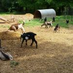 Split Creek ... baby goats