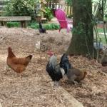Split Creek Chickens / Roosters