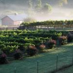 Morning in the vineyard with the mist rising after the sun hits the vines and the classic red ba