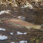One of the beautiful rainbow trout caught in the Big Hole river.