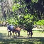Wild horses on the Grayfield Inn grounds