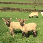 Our lambs enjoying the sunshine!