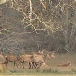 Famed red deer from killarney national park 5min walk away from Haven suites