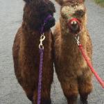 North Star Alpacas
