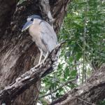 One of the numerous Boat-billed Herons seen during a morning boat tour up Spanish Creek