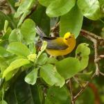 A feeding and curious Prothonotary Warbler feeding on a tree near our cabana