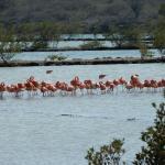 Flamingo's op Curaçao