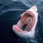 Great White Shark eco tours