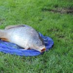 carpe pêchée dans l'étang