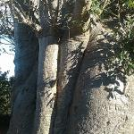 BAOBAB OVER 500 YEARS OLD