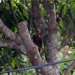 Critically endangered Okinawa Woodpecker pic taken from my balcony at the Ada Garden.