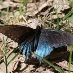 Butterfly along San Pedro River