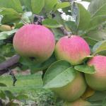 Melba apples