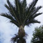 Our Nikau Palm