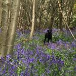 Ruby in the bluebells