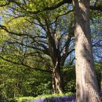 The bluebell walk at Sissinghurst