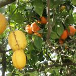 Les orangers du jardin transformés en citronniers