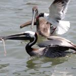 Brown Pelicans and Black Headed Gull all going for the same bite!