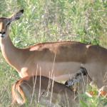 Baby impala drinks from its Mother