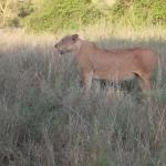 The lioness had made a kill and was nursing two very young cubs. Best photos given to guide