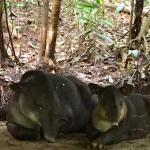 Wild baby tapir and her mama