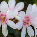 Vireya Rhododendron